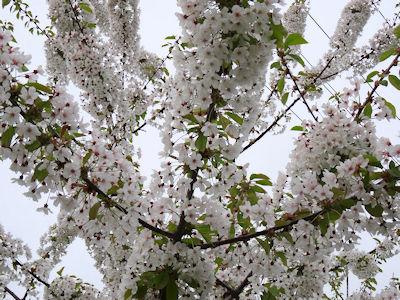 カナダ春の花 06
