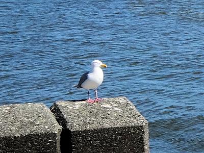 海辺の鳥 オオアオサギ 02
