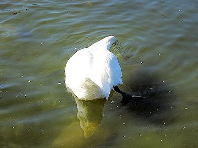 白鳥 01