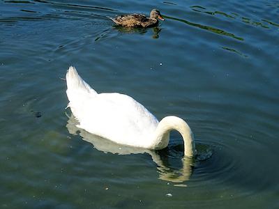 白鳥 02