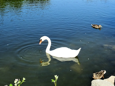 白鳥 03