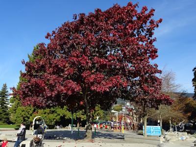 秋の木 チェスナッツ