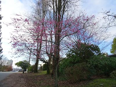 バンクーバーの桜の木