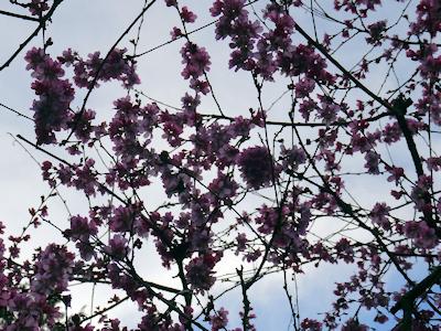 バンクーバーの桜 02