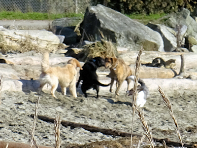 カナダの犬 05