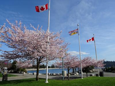 春が来た バンクーバーの桜