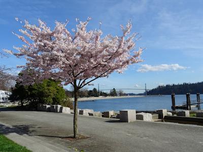 カナダでも桜