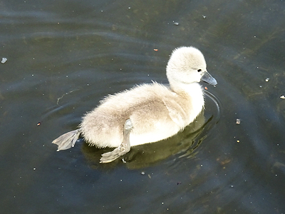 白鳥の赤ちゃん
