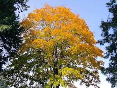 カナダの秋 黄葉