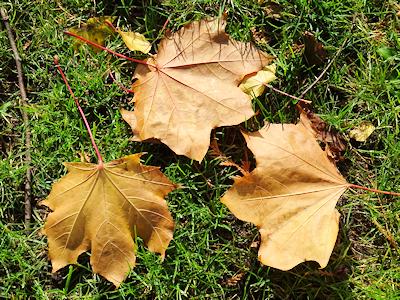 カナダの葉っぱ カエデ