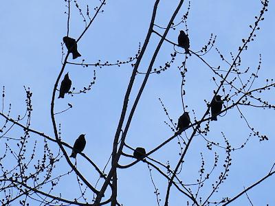ムクドリが枝にとまっている