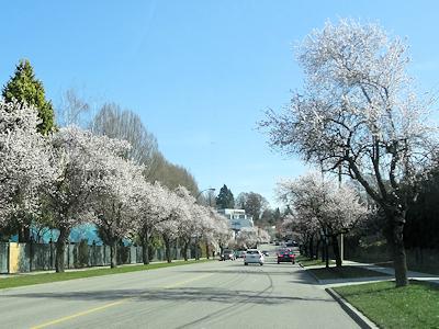 バンクーバー道路事情 ウエスト16番通り 桜並木