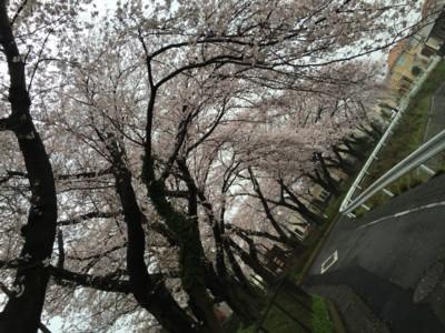 Sakura2016