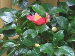 椿が咲いた