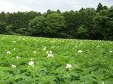 アルベンス馬鈴薯畑