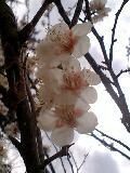 08年3月梅の花-0001.jpg