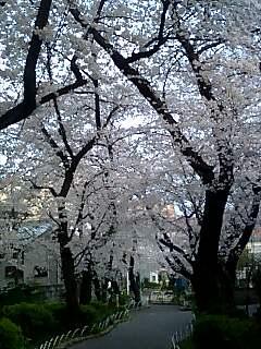 緑道公園の桜
