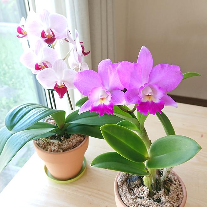 「森水木のラン屋さん」の花咲く苗セット