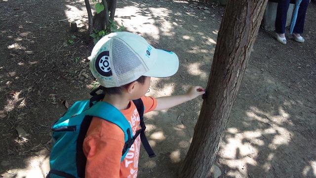 子供が捕まえられるくらいに普通にカブトムシが木にとまってます