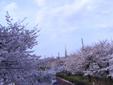 定番の国立の桜