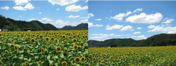 ひまわり2011_2