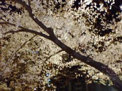 ヒルズの桜