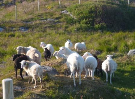 Sheeps in Sorburoy, Norway