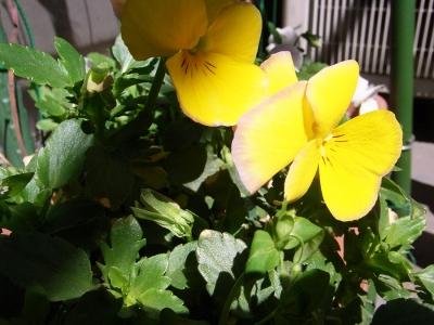 ベランダのお花05