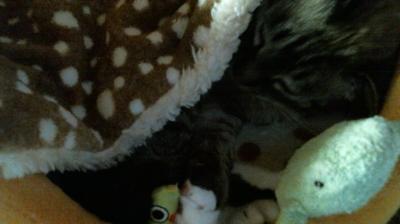 バンビさん毛布て寝んね09