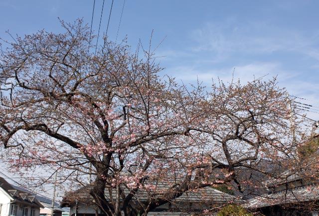 河津桜原木-1.jpg