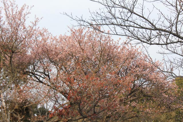 寒桜-3.jpg