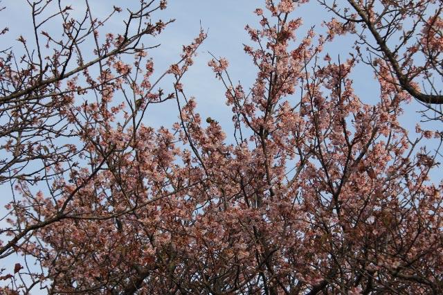 寒桜-2.jpg