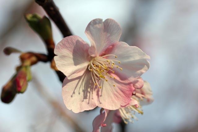 寒桜-1.jpg
