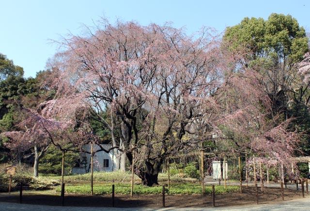 しだれ桜-1.jpg
