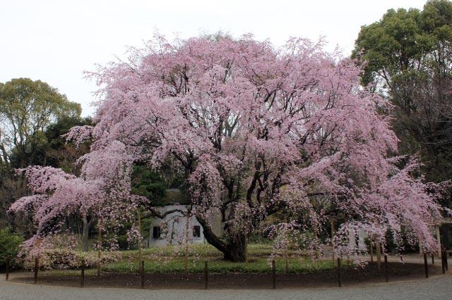 枝垂れ桜-1.jpg