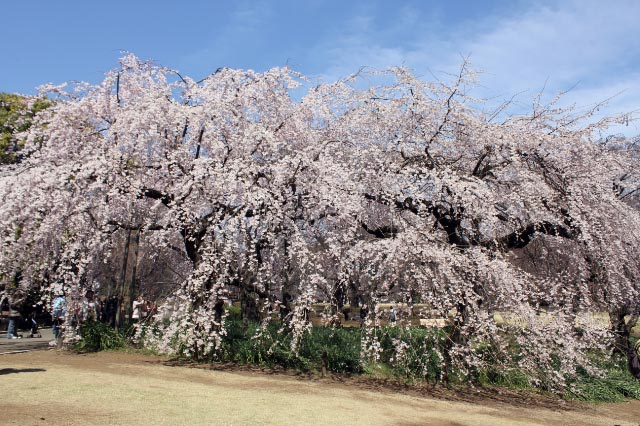 枝垂れ桜1-1.jpg