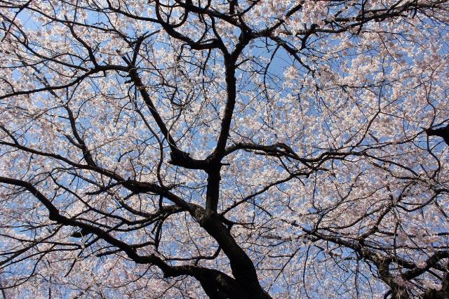 桜の天井-1.jpg