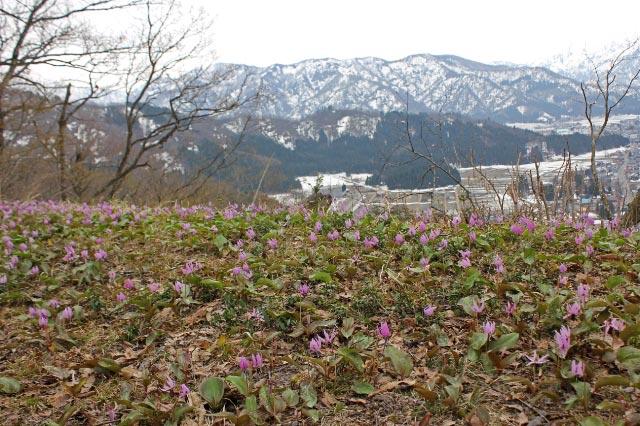 カツカリ群生と雪山-1.jpg
