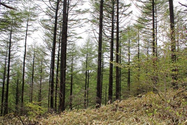 カラマツ林-1.jpg