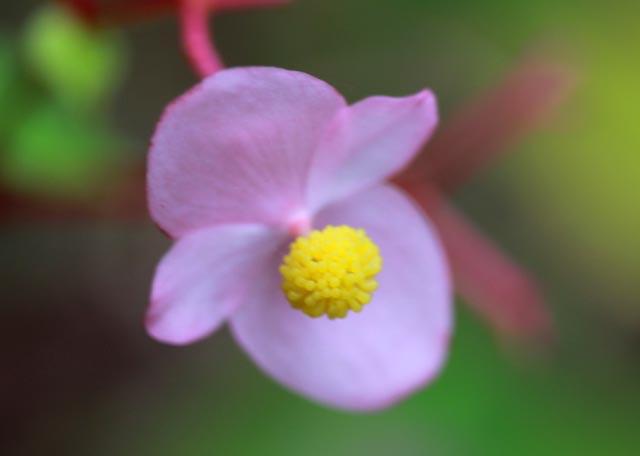 hardy begonia-1.jpg
