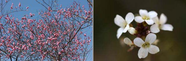 八重咲きの梅-1.jpg