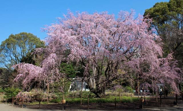 六義園枝垂れ桜-1.jpg