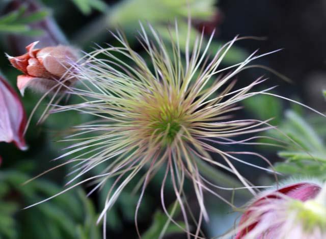 オキナグサ種-1.jpg