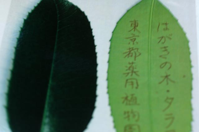 タラヨウ-1-1.jpg