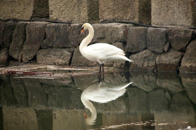 白鳥-1.jpg