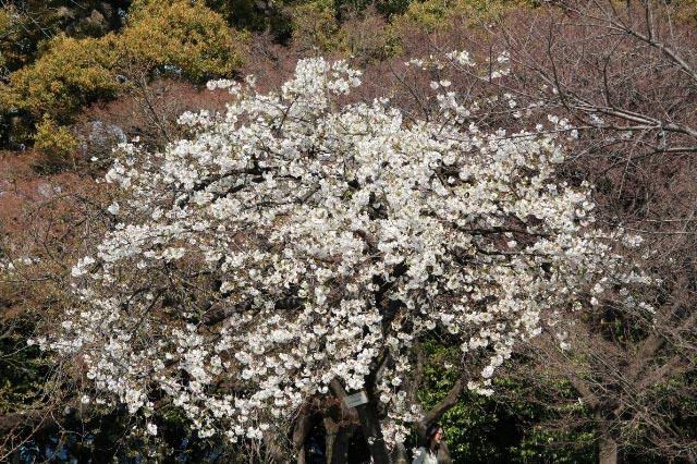 山桜-1-2.jpg