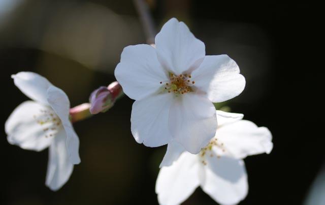 山桜-1-1.jpg