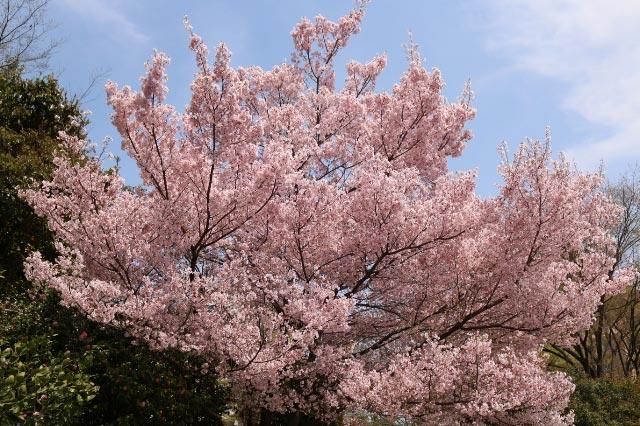 山桜-1.jpg
