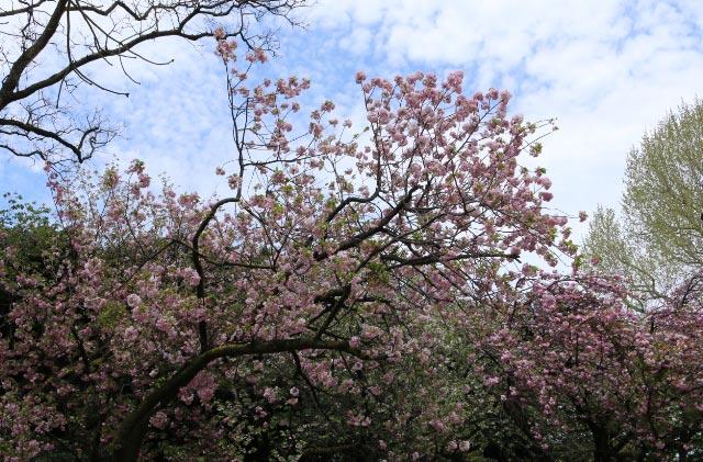 桜-1-3.jpg