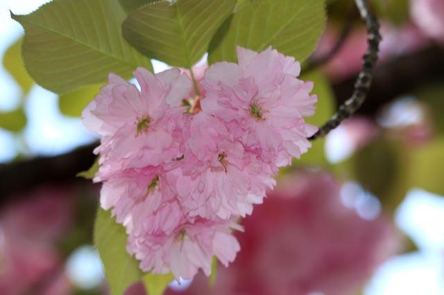 桜-1-2.jpg
